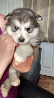 Lovely Siberian Husky Puppies For Rehoming