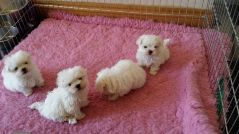 Well Trained Teacup Maltese Puppies For Adoption