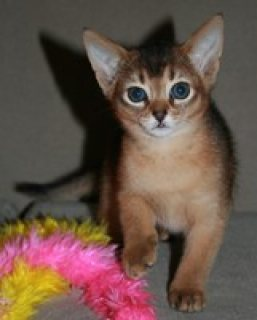 MALE AND FEMALE ABYSSINIAN KITTENS FOR SALE