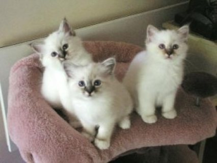 Male and female Birman kittens for sale
