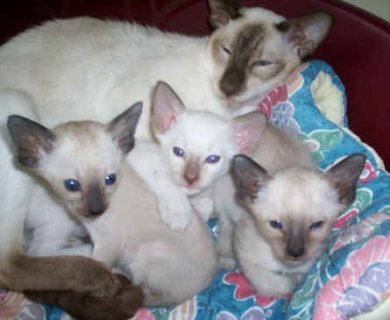 We have a beautiful litter of F1B white Siamese kittens ready to