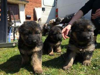 Male and Female german shepherd  puppies raised in our home for