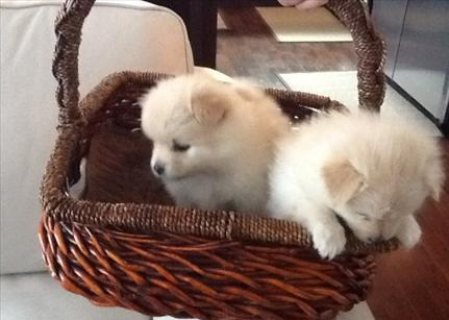 Beautiful AKC Pomeranian Puppies