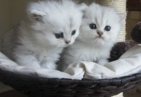 Excellent quality, high breed Persian kittens for sale. Interest