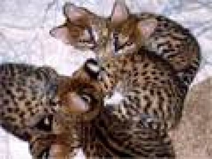 for sale Ocelot Kittens