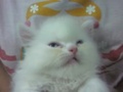 for sale pure white Persian kittens
