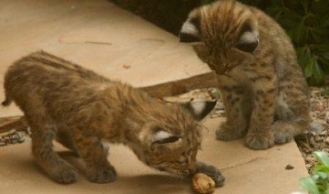 Bobcats,Servals, F1 Savannah kittens