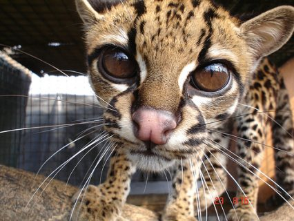 Bobcats , African servals and F1 Savannah kittens for sale