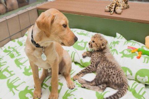 Low cost Big Cats, kittens,Cheetah,Tiger and Fox,chimpanzee