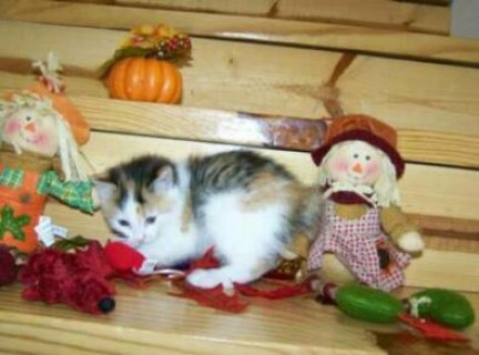 Three American Bobtail kittens for sale.