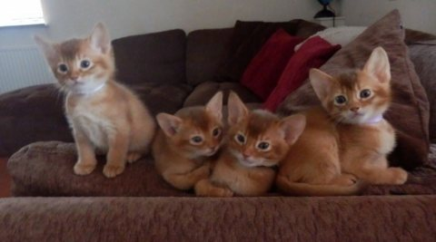 WEhave a gorgeous litter of 7 full pedigree Abyssinian kittens 5
