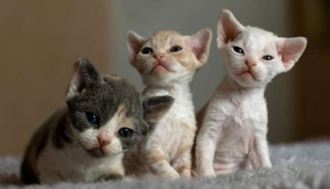 Pointed Male Devon Rex kittens