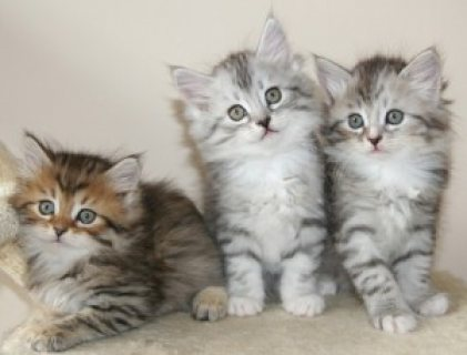 Beautiful Siberian Kittens Available