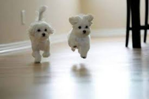 Cute Teacup Maltese Puppies for Sale,.,..,