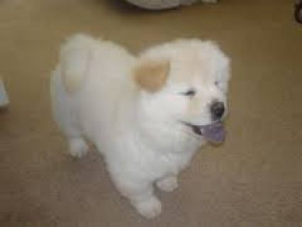 Adorable Male and Female Chow Chow puppies ready for sale.