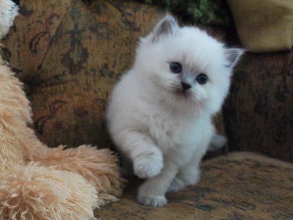 Stunning Male And Female Ragdoll Kittens For New Home