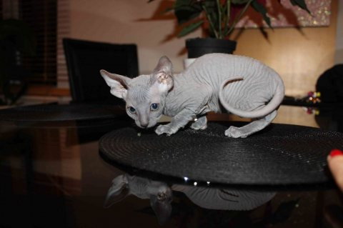 Stunning Registered Sphinx Kittens Available For Sale
