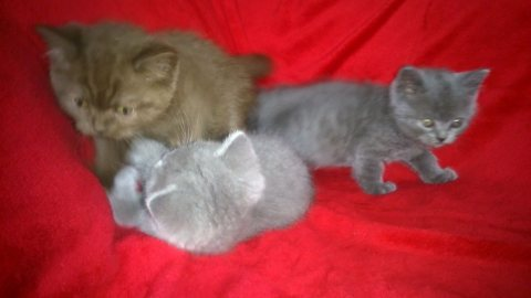 Stunning,British short hair kittens kittens for sale