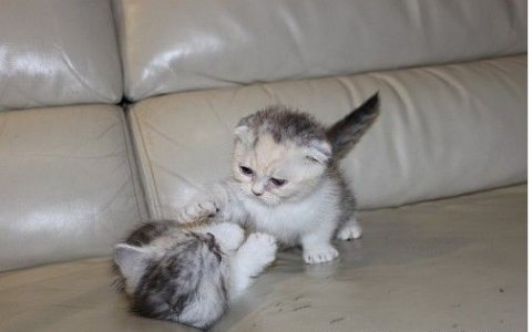 Stunning,scottish fold kittens kittens for sale
