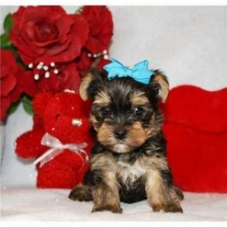 Two Outstanding And Adorable Home Trained Teacup Yorkie Puppies