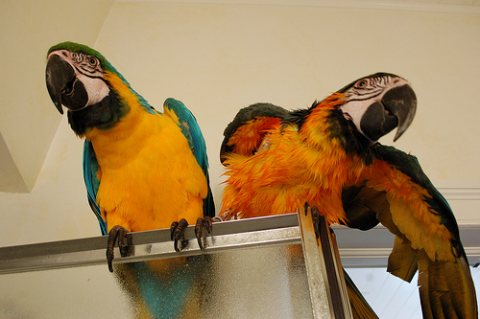 Home raised Blue And Gold Macaw Parrots Available.
