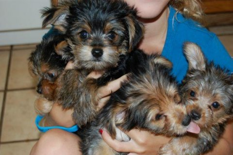 My husband and I are giving out out lovely babies Yorkie