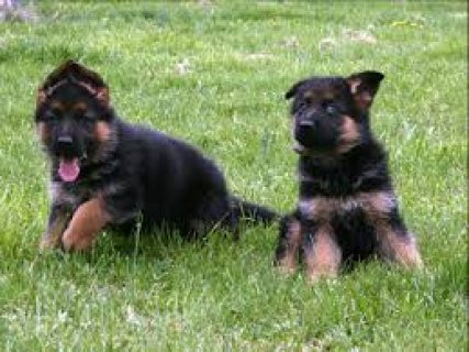 Fabulous German Shepherd puppies for sale