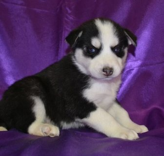 adorable siberian husk puppies for adoption