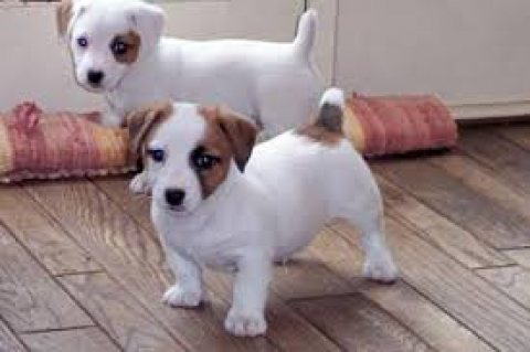صور Two Jack Russell Pups for sale 1