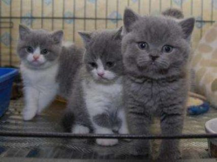 صور Male and female British short hair kittens ready for sale.., 1