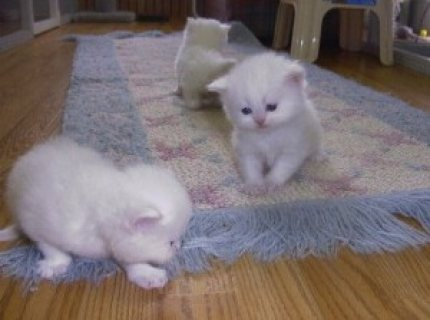 صور Charming Gifts Persian Kittens Ready For Sale ..., 1