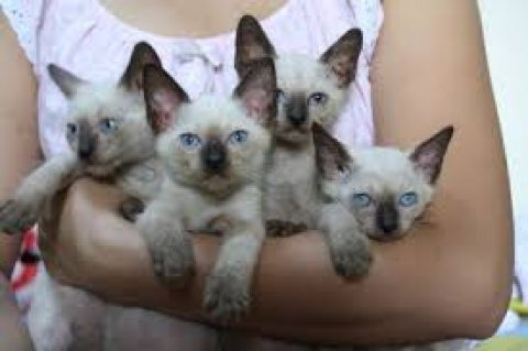Adorable male and female Siamese  kittens for sale.