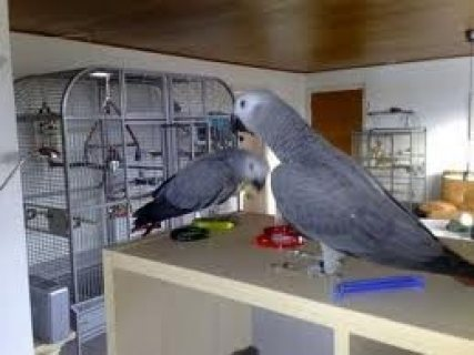 Cute African Grey Parrots for sale.,.,