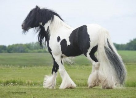 Beautiful Gypsy Vanner Horse for sale.,.,.,