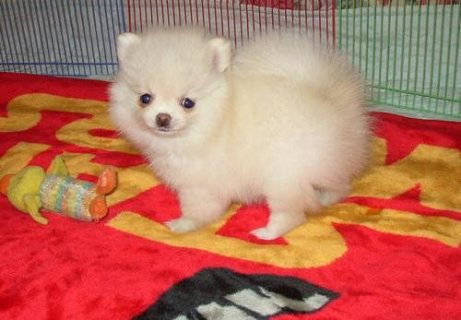 Pomeranian Puppies for Adoption//////////////