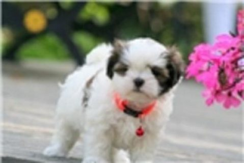 Quality Male and Female Mal-Shi - Malshi Puppies For Sale