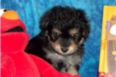Lovely 12 weeks old Yorkiepoo Puppies for adoption