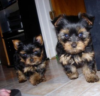 صور !TALENTED SUPER CUTE YORKIE PUPPIES FOR ADOPTION  1