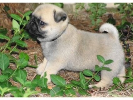 Registered dewormed Pug Puppies For Sale