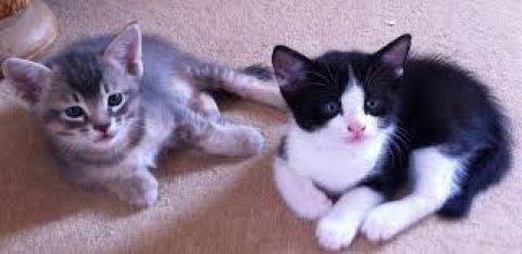 Burmese Cross Kittens for Sale