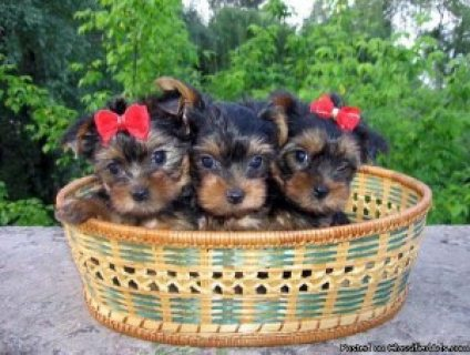 Yorkshire Terrier (Yorkie) Puppies, Great Family Pet............
