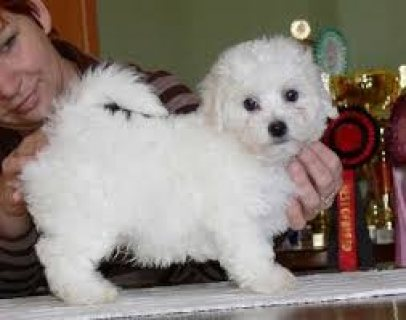 Awesome Male And Female Maltese Puppies Available