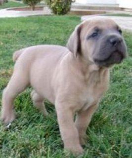 Cane Corso Puppies..................../////