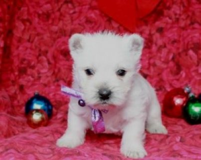 West Highland White Terrier Puppies for Sale!................///