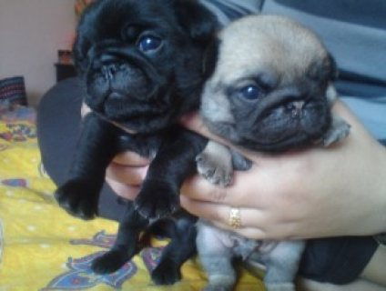 Cute and Adorable Pug Puppies for Sale......./////////////