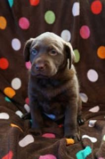 Labrador Retriever Puppies................................//////