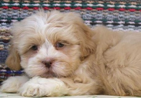 Lhasa Apso puppies for Adoption.