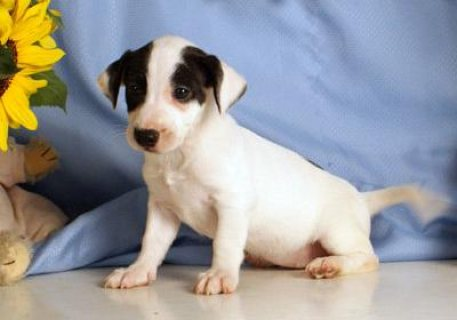 Jack Russel puppies for Adoption.great looking puppies