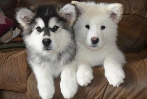 صور Alaskan Malamute puppies for adoption 1