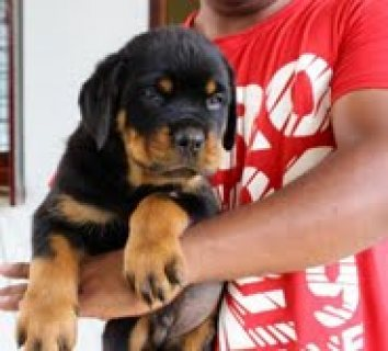 Rottweiler c puppies out for adoption